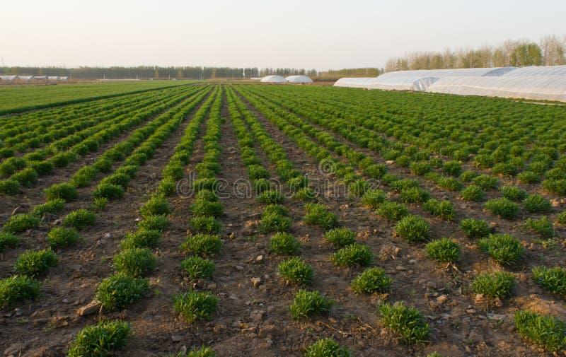 Świeża zieleń na śródpolnym wiosny rolnictwie zdjęcie stock