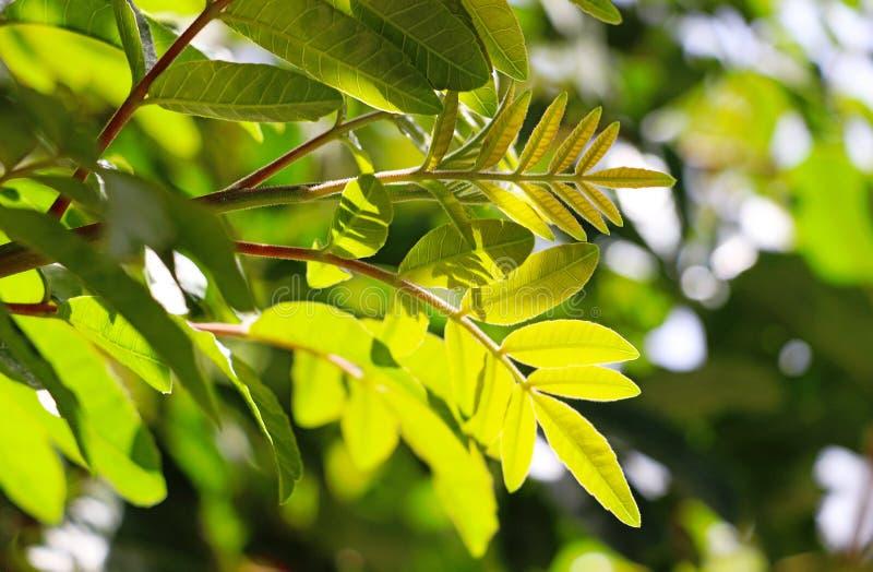 Świeża zieleń opuszcza na drzewie na słonecznym dniu zdjęcia stock