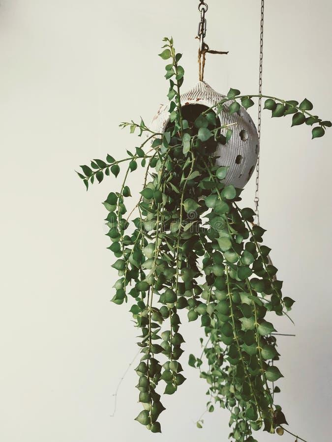 Świeża zieleń puszkująca roślina, wewnętrzna dekoracja fotografia stock