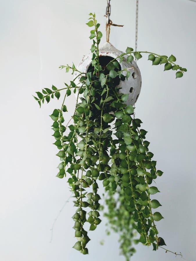 Świeża zieleń puszkująca roślina, wewnętrzna dekoracja obraz stock