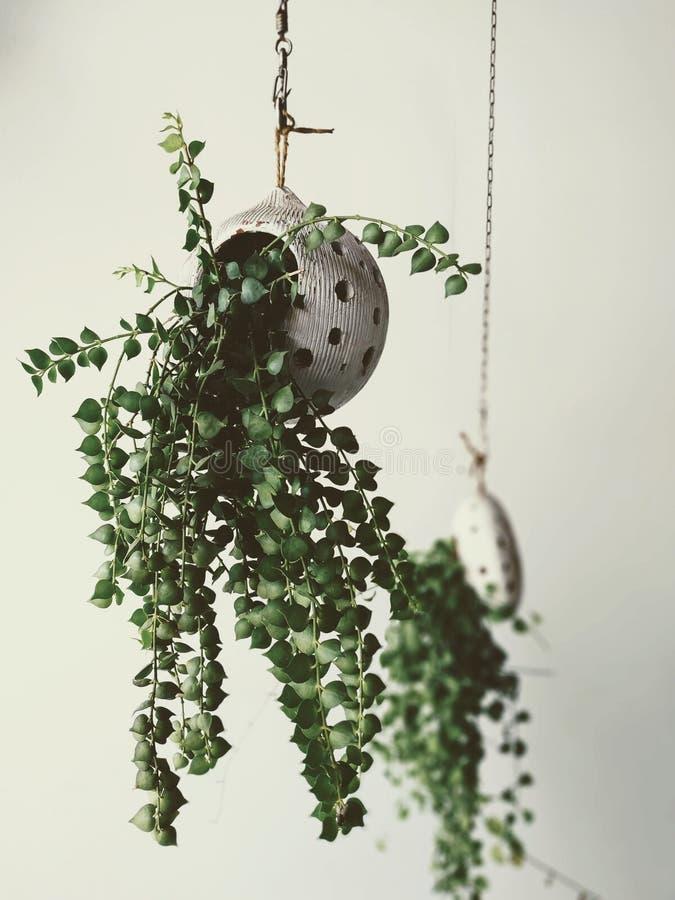 Świeża zieleń puszkująca roślina, wewnętrzna dekoracja fotografia royalty free