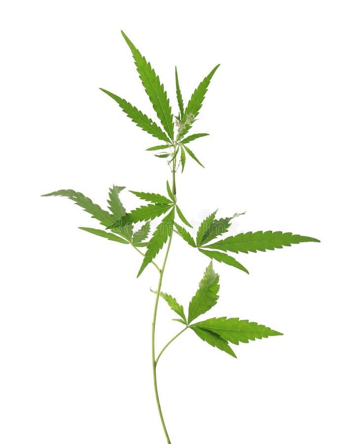 Świeża zielona konopiana roślina fotografia stock