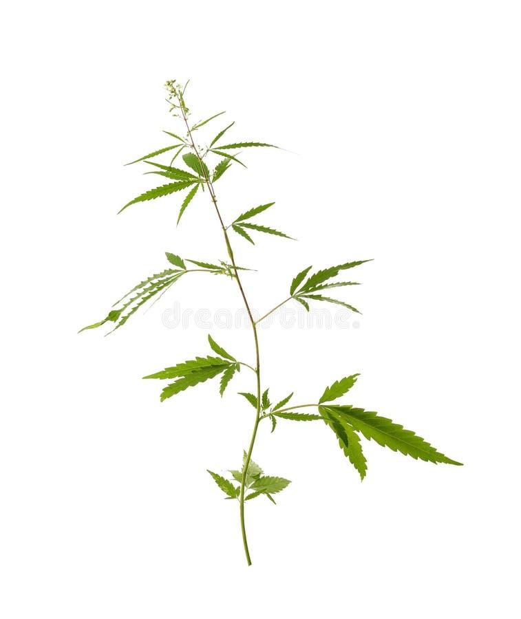 Świeża zielona konopiana roślina obrazy royalty free