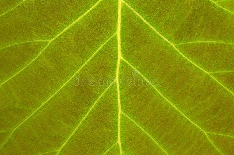 Świeża zielona liść tekstura z widocznymi żyłami w górę obraz stock