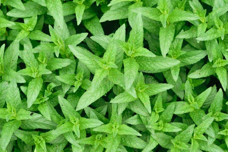 Świeża Zielona miętówka & x28; Mentha Piperita lub Mentha Balsamea Willd& x29; opuszcza tło obraz stock