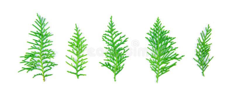 Świeża zielona sosna opuszcza, Orientalny Arborvitae, tuja ukierunkowywa obraz stock