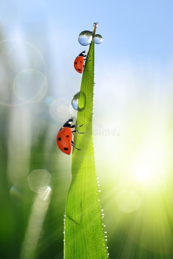 Świeża zielona trawa z rosa kroplami i ladybirds obraz royalty free
