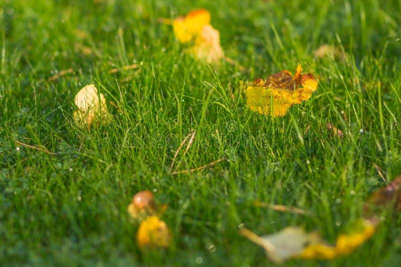 Świeża zielona trawa z rosa kroplami zamyka up spadać jesień kolor żółty opuszcza na Zielonej trawy tle trawa w lesie póżniej zdjęcie stock