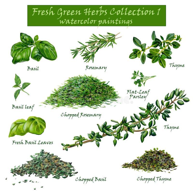 Świeża Zielona ziele kolekcja 1 - akwarela obrazy royalty ilustracja