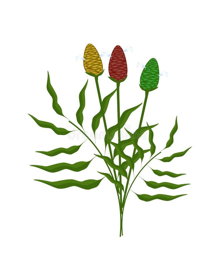 Świeża Zingiber Zerumbet roślina na Białym tle royalty ilustracja