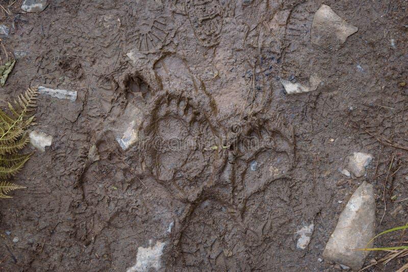 Świeże ślady czarnych niedźwiedzi w błocie na szlaku wędrówkowym, Exit Glacier, Park Narodowy Kenai Fjords, Seward, Alaska, Stany obraz stock