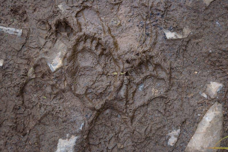 Świeże ślady czarnych niedźwiedzi w błocie na szlaku wędrówkowym, Exit Glacier, Park Narodowy Kenai Fjords, Seward, Alaska, Stany zdjęcie stock
