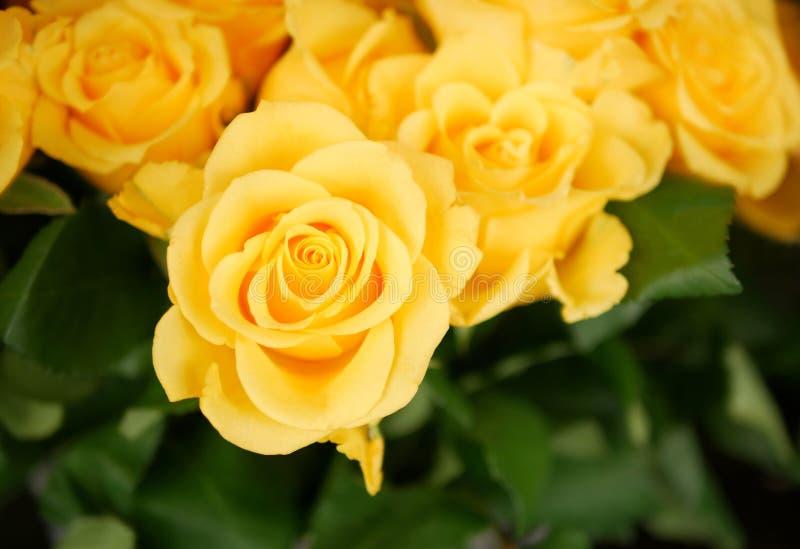 Świeże żółte róże kwitną odgórnego widok w ogródzie obraz royalty free