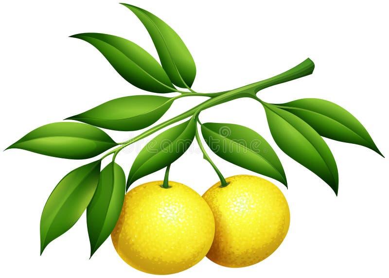 Świeże cytryny na gałąź royalty ilustracja