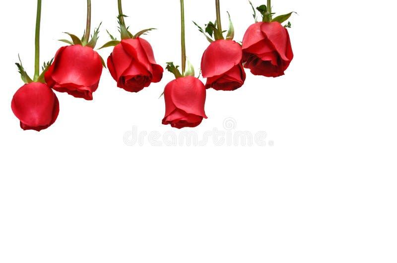 Świeże czerwonego koloru róże odizolowywać na białym tle dla walentynka dnia fotografia royalty free