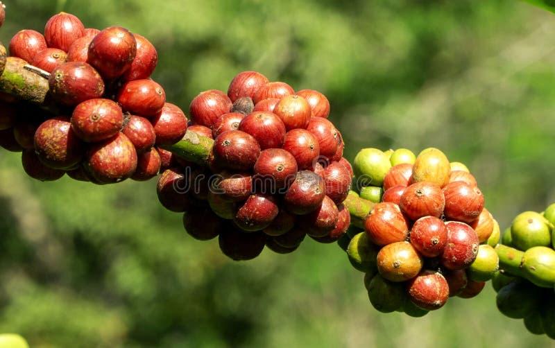 Świeże dojrzałe czerwone kawowe fasole na gałąź kawowy drzewo w gospodarstwie rolnym fotografia stock
