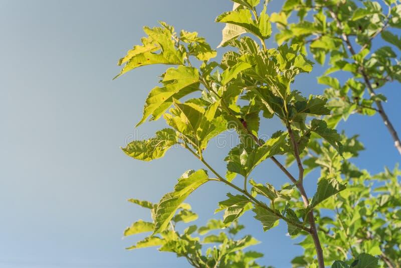 Świeże dojrzałe owoce morwy pod niebieskim niebem gotowe do zbiorów w Teksasie, USA obrazy royalty free