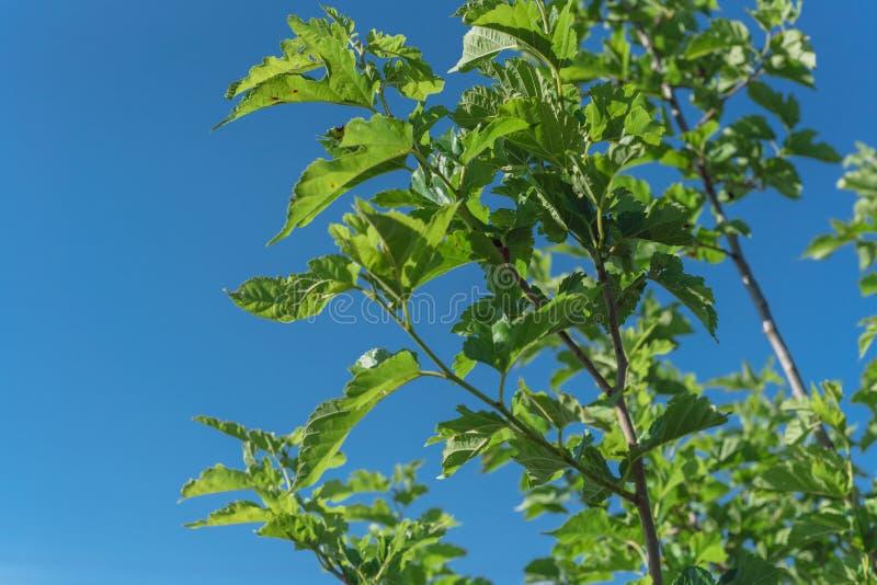 Świeże dojrzałe owoce morwy pod niebieskim niebem gotowe do zbiorów w Teksasie, USA obraz stock