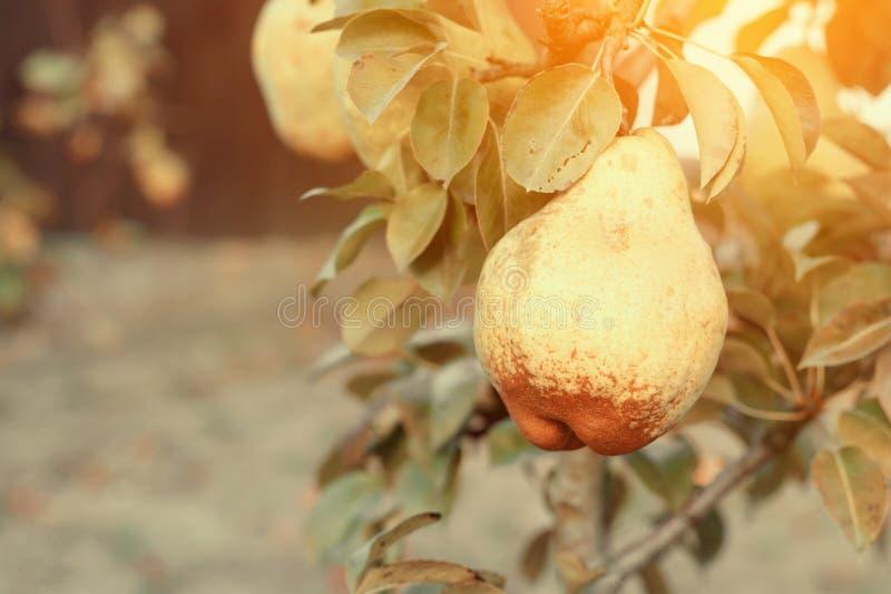 Świeże dojrzałe pigw owoc na gałąź Drzewa i ulistnienie obrazy royalty free