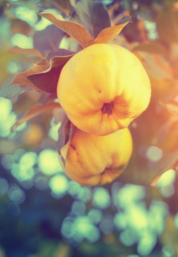 Świeże dojrzałe pigw owoc na gałąź obrazy stock