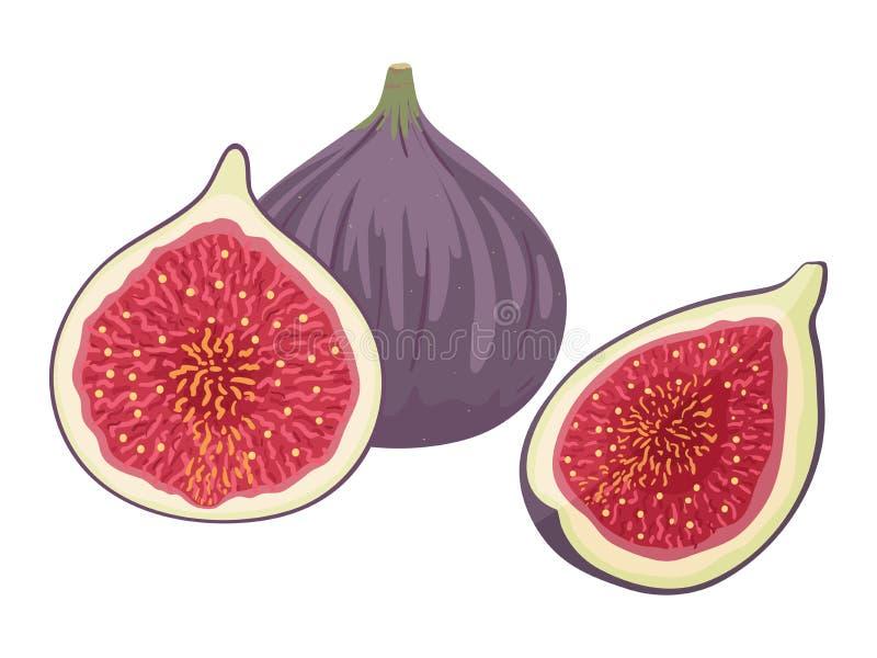 Świeże figi całe i rżnięte w ćwiartce i połówce również zwrócić corel ilustracji wektora ilustracji