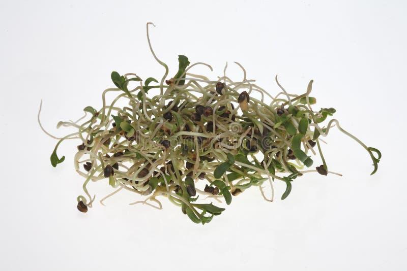 Świeże flance, rozsady od konopianych ziaren zdjęcie stock