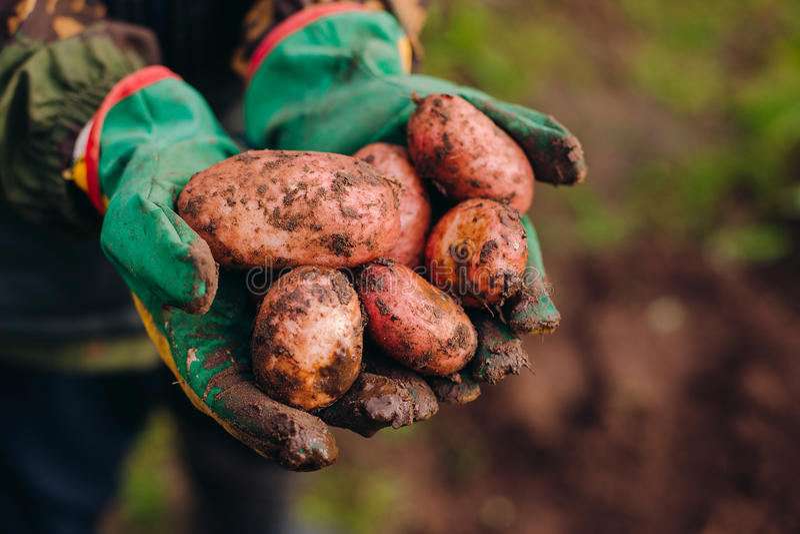 Świeże grule w farmer& x27; s ręki Soilwork pojęcie obraz stock