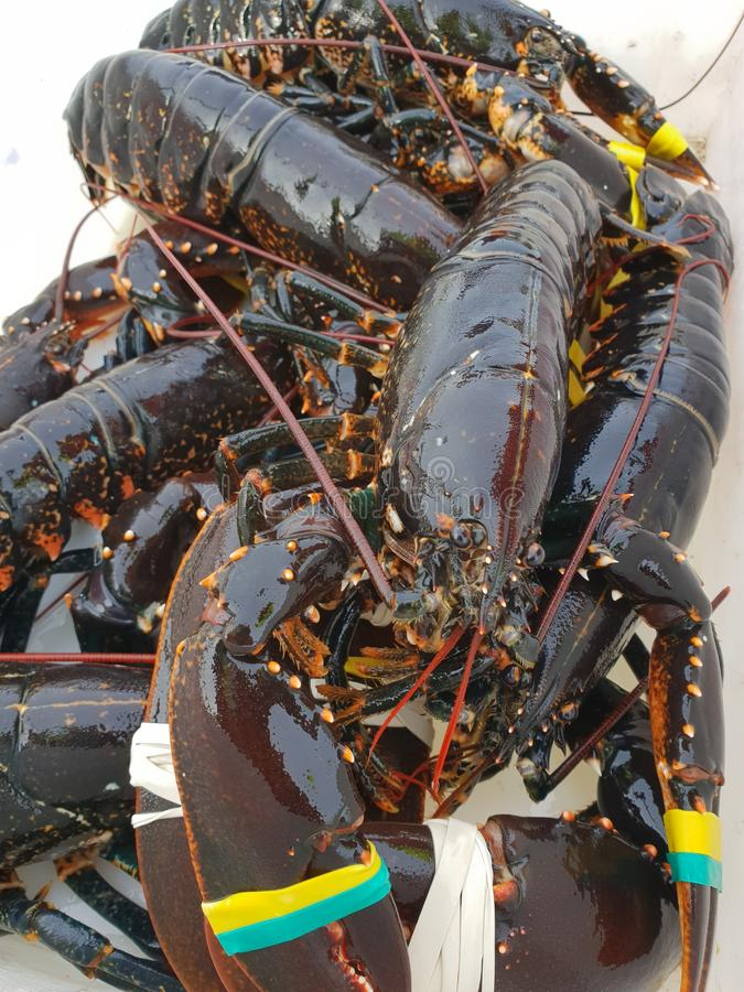 świeże homary zdjęcia stock