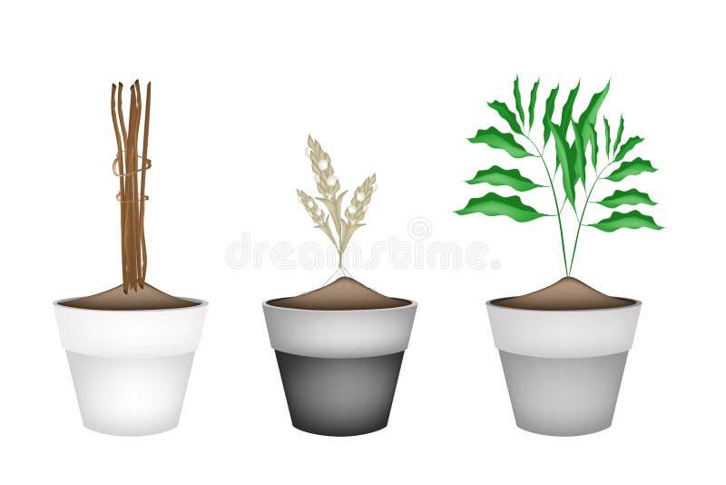 Świeże Kardamonowe rośliny w Ceramicznych kwiatów garnkach ilustracji