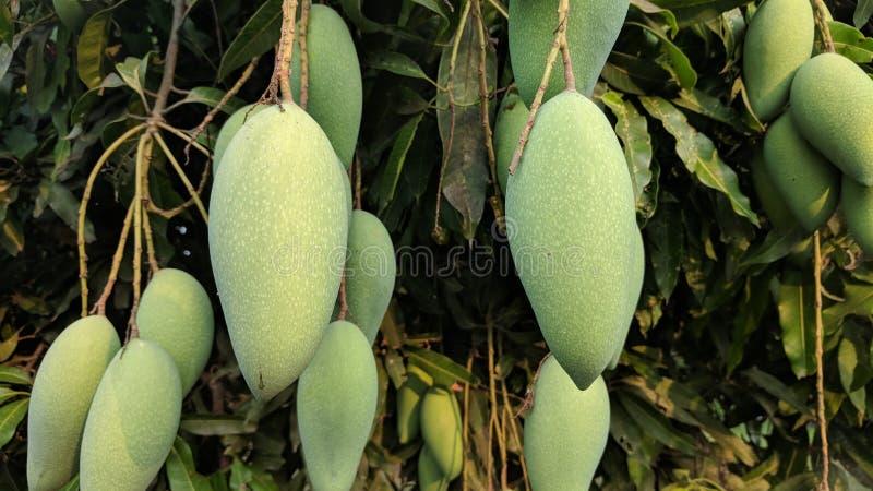 świeże mango obraz stock