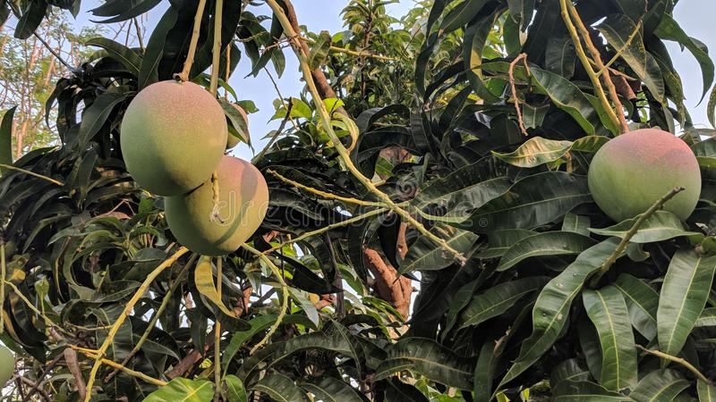 świeże mango obrazy stock