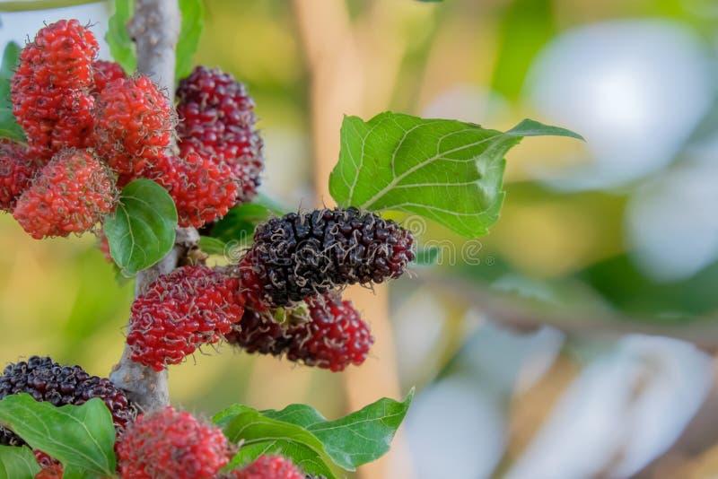 Świeże Morwowe owoc na drzewie, morwie z bardzo pożytecznie dla traktowania i gaceniu różnorodne choroby, zdjęcia royalty free