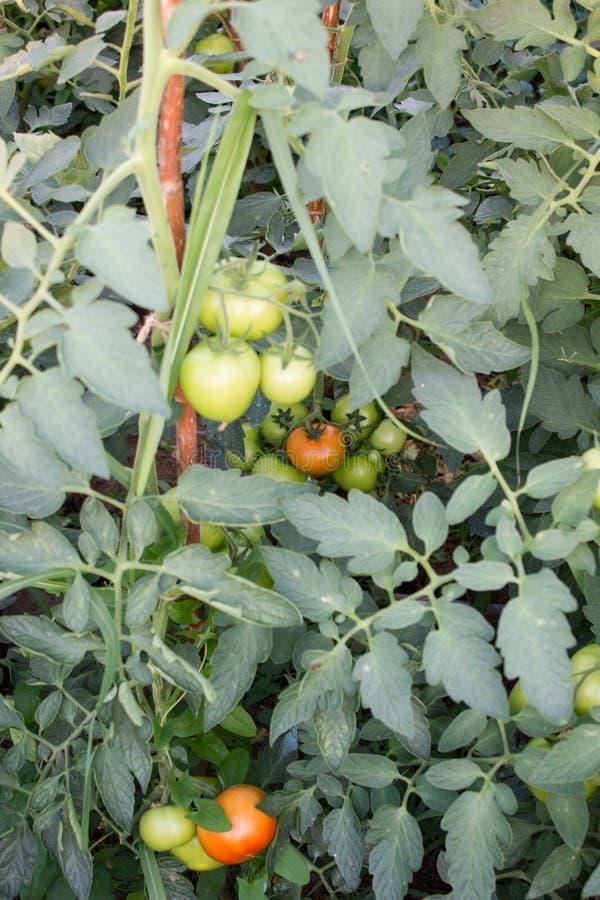 Świeże niedojrzałe pomidor rośliny w eco uprawiają ogródek obrazy stock