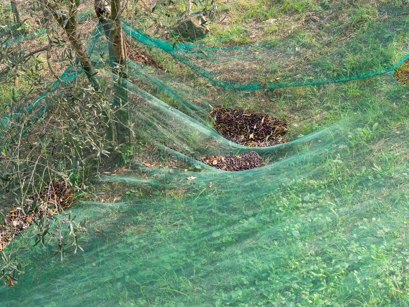 Świeże oliwki zbierać w tradycyjnym sposobie z kolorowymi sieciami zdjęcia royalty free