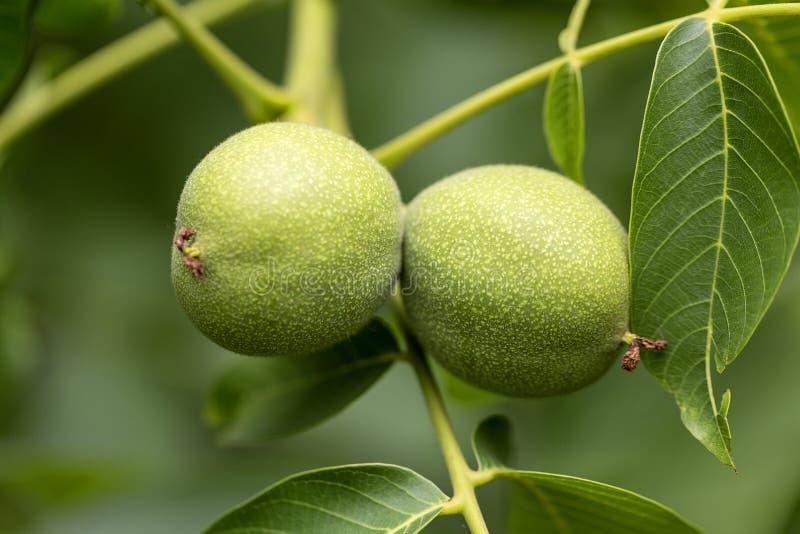 Świeże orzech włoski owoc w zieleni łuskają dojrzenie na drzewie obraz stock