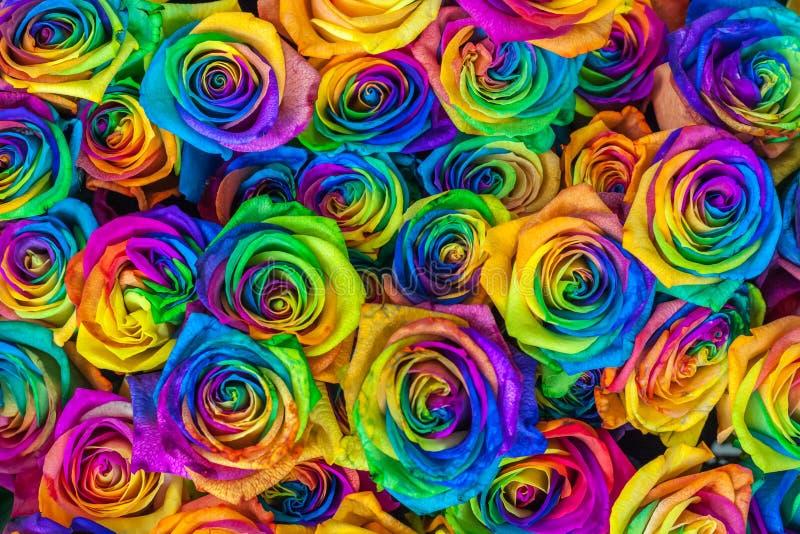 Świeże piękne wibrujące multicolor róże kwitną dla kwiecistego tła Tęcz unikalne i specjalne barwione róże wierzchołek obrazy stock