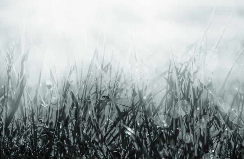 Świeże ranek rosy kropelki na biedronce i trawie Naturalny makro- tło Płytka głębia Szablon dla projekta czarny white obrazy stock