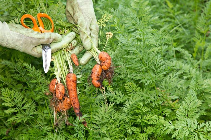 Świeże rosnąć organicznie marchewki obrazy royalty free