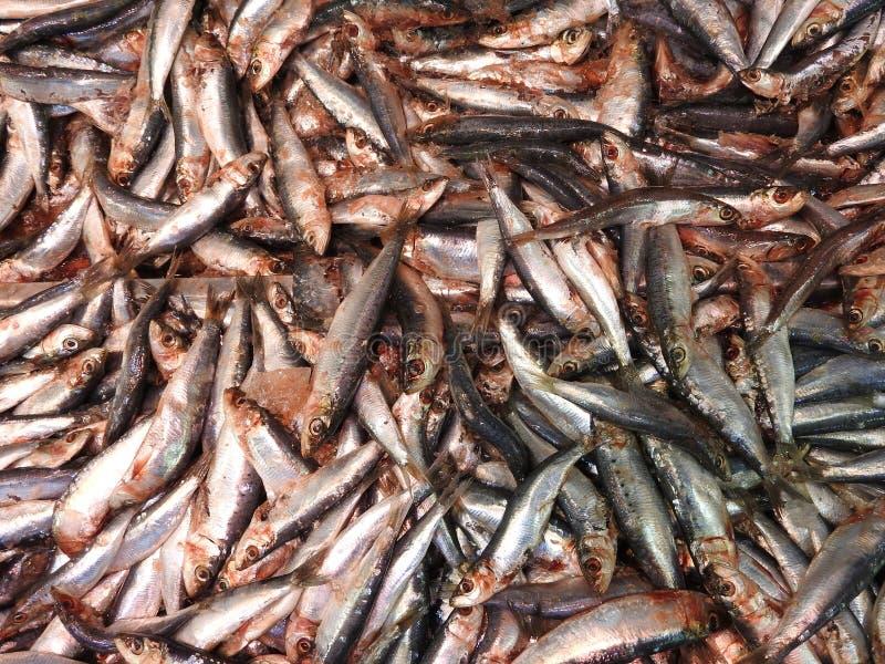 Świeże sardynki, pilchard, owoce morza ryba na rynku obrazy stock