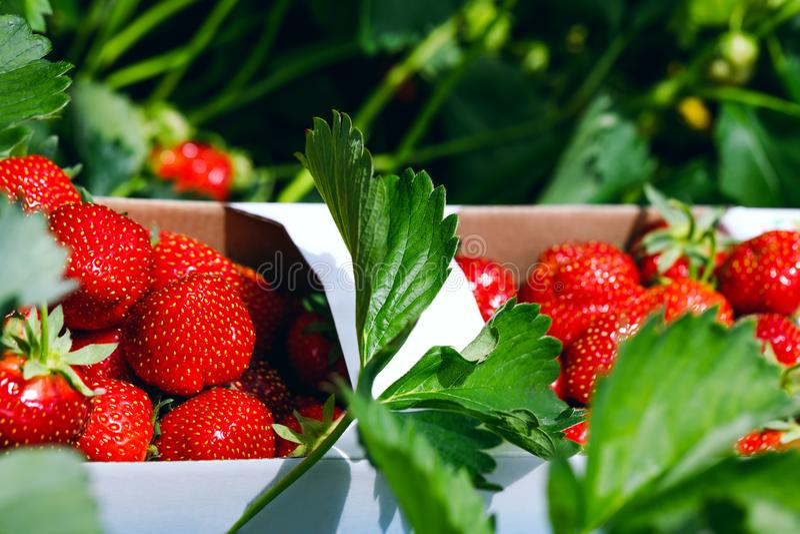 świeże truskawki Apetyczny i wyśmienicie piękny strawberr obrazy stock