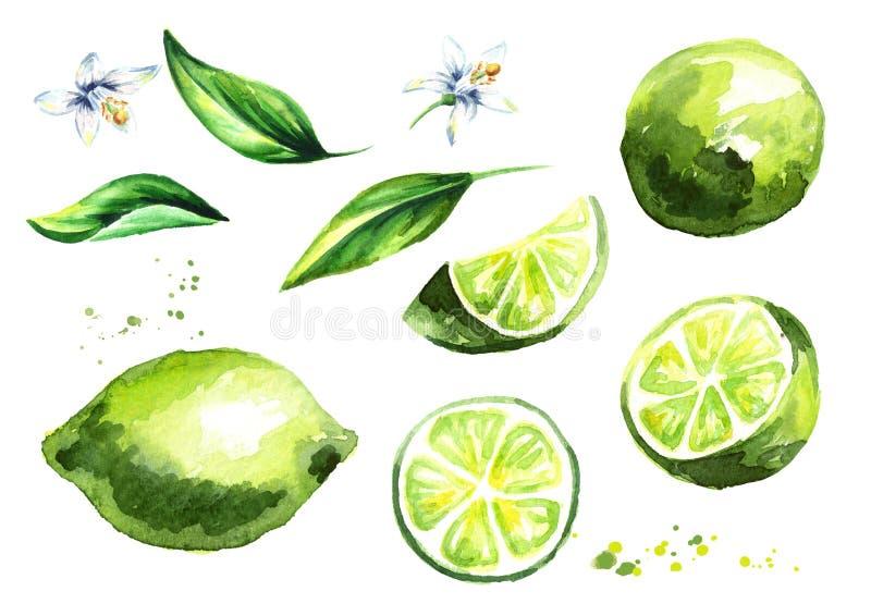 Świeże wapno owoc, liście z kwiatami inkasowymi i Akwareli ręka rysująca ilustracja ilustracja wektor