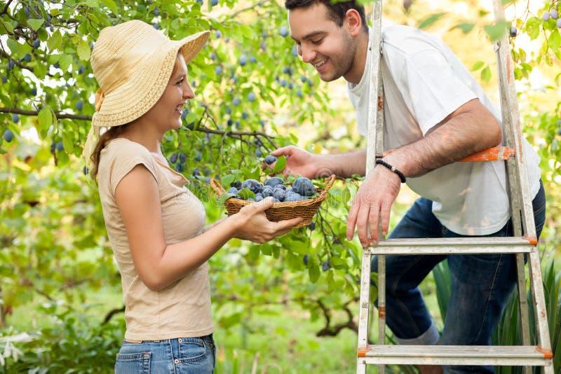 Świeże zdrowe owoc od drzewa fotografia royalty free