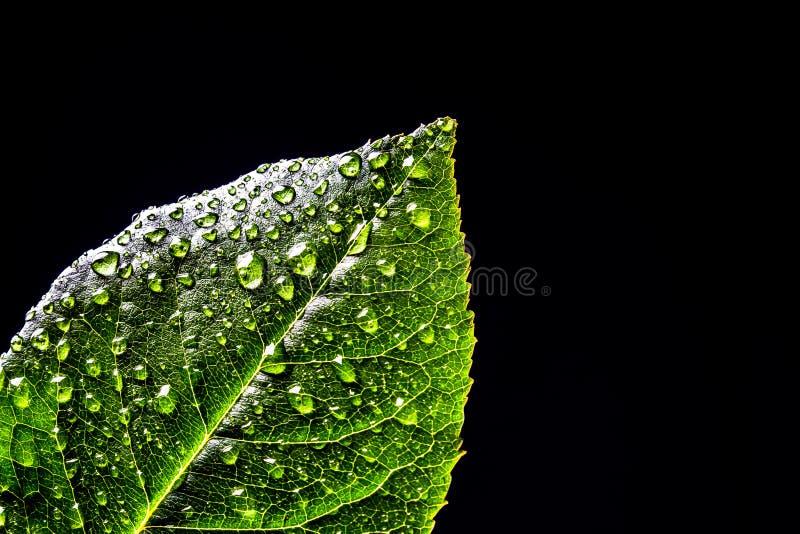Świeże zielone liść rośliny z wodą opuszczają w górę czarnego tła odizolowywającego Zielony liść z rosa kroplami odizolowywać obrazy royalty free