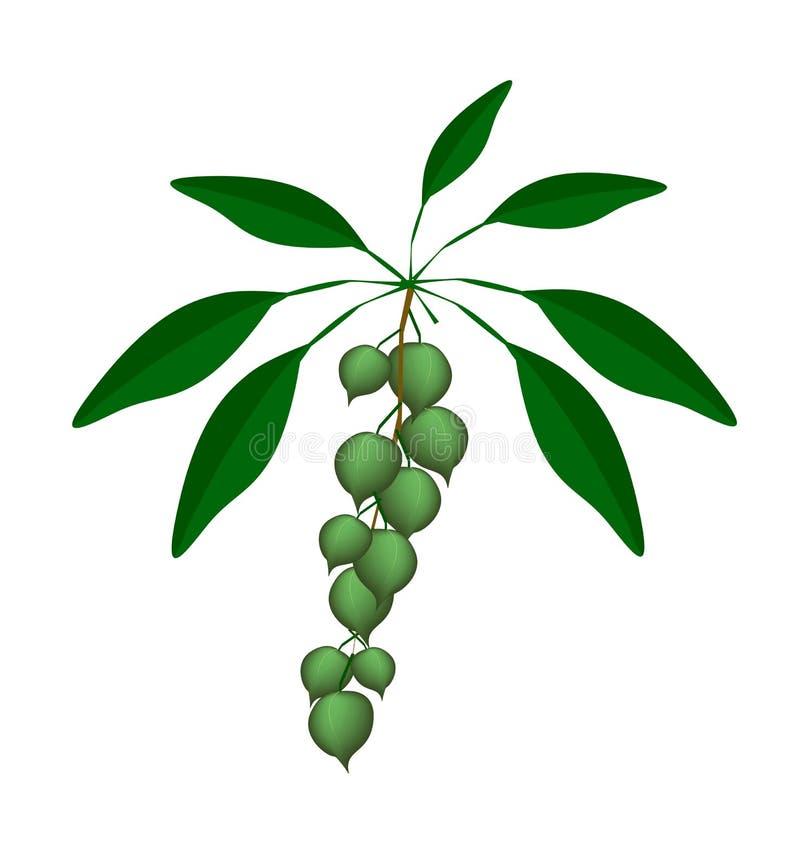 Świeże Zielone Macadamia dokrętki na gałąź ilustracja wektor