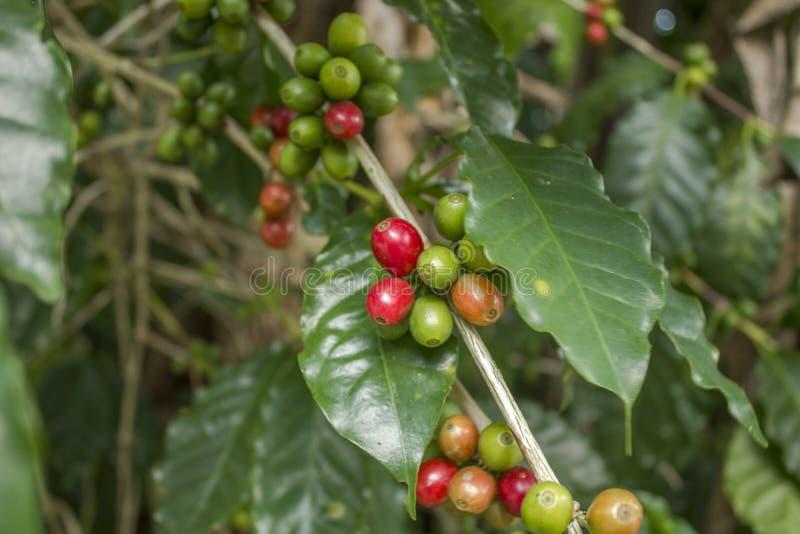 Świeżej czerwieni zieleni niedojrzałe kawowe fasole na gałąź zdjęcie stock
