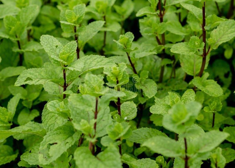 Świeżej mennicy liść lub miętowa roślina r w mój organicznie ogródzie zdjęcie royalty free