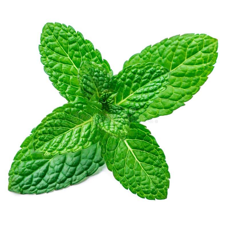 Świeżej mennicy liść odizolowywający na białym tle Spearmint liście, miętówka obraz stock