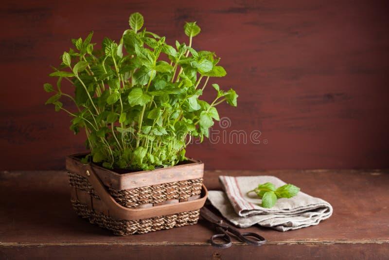 Świeżej mennicy Miętowy ziele w garnku fotografia royalty free