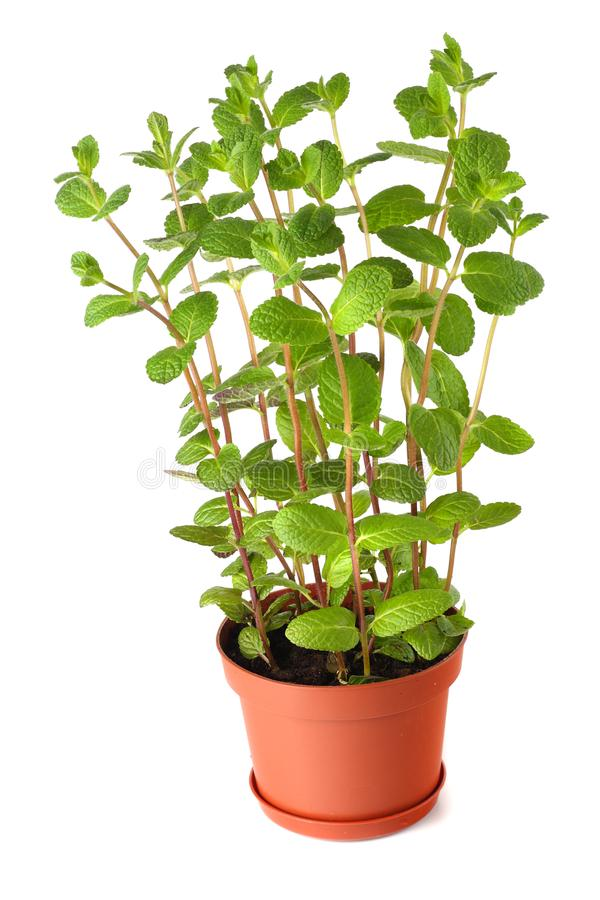 Świeżej mennicy roślina w garnku odizolowywającym na bielu obraz royalty free