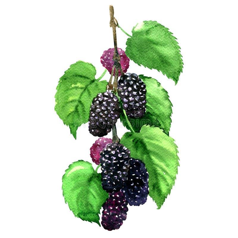 Świeżej owoc czarna morwa z liśćmi odizolowywającymi, akwareli ilustracja ilustracja wektor
